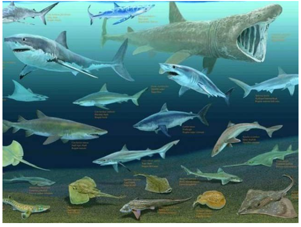 Many species of sharks and ray are on the verge of extinction in the world, including Pakistan