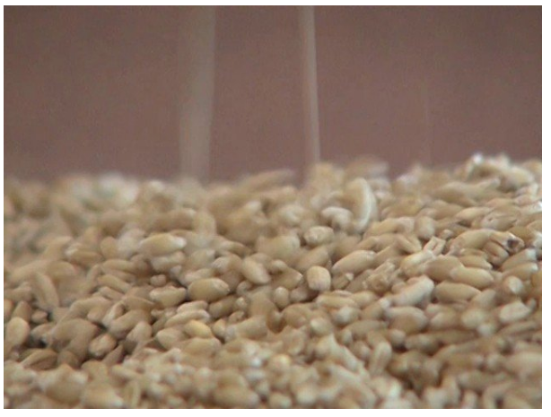 Pakistani experts have developed wheat, which is low in gluten and rich in vitamin E.