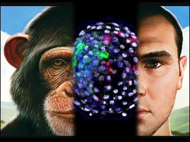 Is it a preparation to make 'half a monkey, half a human' in a laboratory?