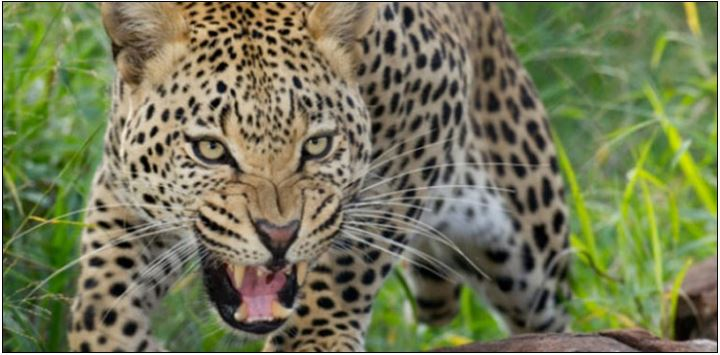 What happened to the leopard that climbed the power transformer?
