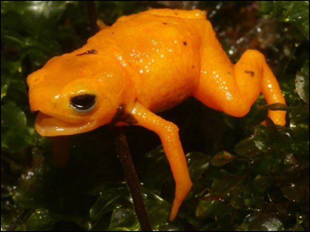 Bright, yellow, poisonous ... Discovery of a new type of frog